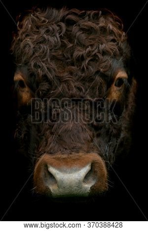 A Close Up Image Of A Dark Brown Hairy Cow's Face