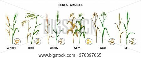 Cereal Grasses Flat Icons Set With Wheat Rice Barley Corn Oats Rye Plants And Seeds Isolated Vector