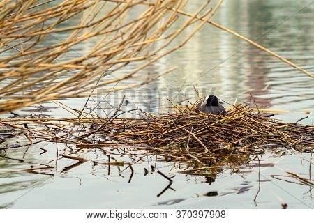 Bird Nest On Water. The Eurasian Coot Or Fulica Atra Nests On The Water.