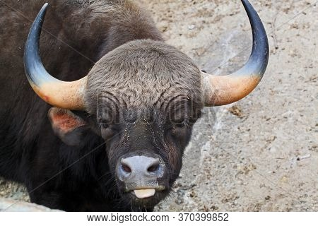 Bos Gaurus. The Gaur Is The Largest Bovine And Is Native To South Asia And Southeast Asia.