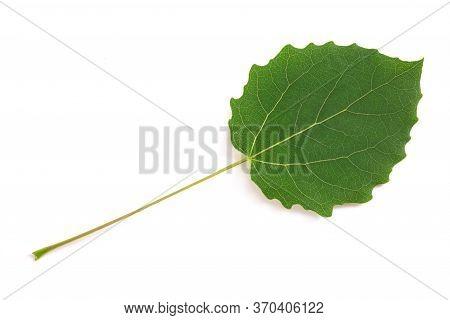 Quaking Aspen Leaf  Isolated On White Background