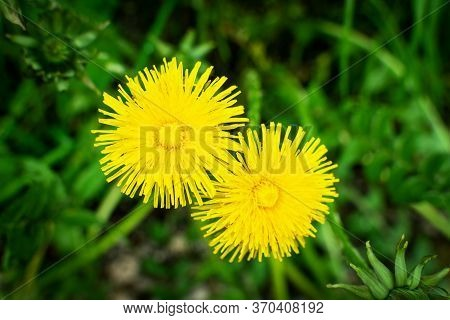 Macro Photography Of A Dandelion Plant. Dandelion Is A Plant With A Fluffy Yellow Bud On A Green Bac
