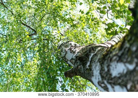 Trees In The Forest, View From Below, Birch Trees With Thin Trunks And Green Foliage, Tree Tops Agai