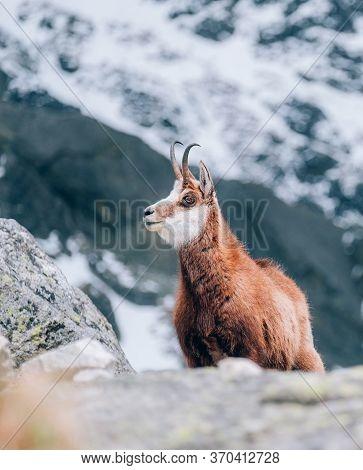 Red Fox In The Early Summer In High Tatras Region In The Tatra National Park (tanap), Slovakia.