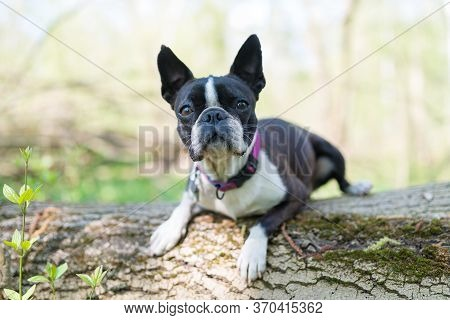 Boston Terrier Dog Lying On A Fallen Tree Trunk In The Forest - Shallow Depth Of Field