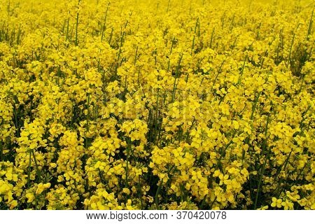Beautiful Field Of Yellow Rape. A Closeup Photo Of A Rapeseed Flower. Growing Seeds Of Agricultural