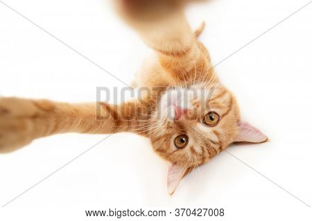 Portrait of tabby ginger cat makes selfie over white background. Adorable pet posing like he takes photos with smart phone. Cute domestic animal. Red cat photographs himself, natural light, wide angle