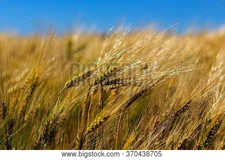 Ears Of Barley Closeup On A Farm Field Or Large Agricultural Enterprise. Selective Focus. Ripening E