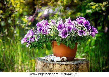 Beautiful Surfinia Flower In Flowerpot. Close Up.