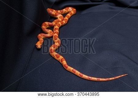 The Corn Snake (pantherophis Guttatus) Is A North American Species Of Rat Snake That Subdues Its Sma