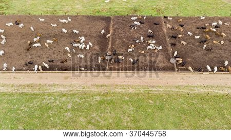 Livestock In Confinement, Oxen, Cows, Sunny Day.