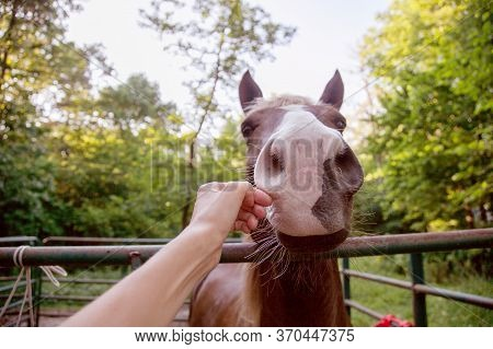 Woman's Hand Reaches To Stroke The Horse's Muzzle Affectionately. The Horse's Body Language Implied