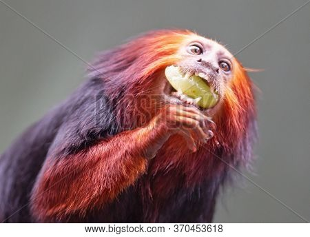 Golden Lion Tamarin / Golden Marmoset - Red Monkey, Eating
