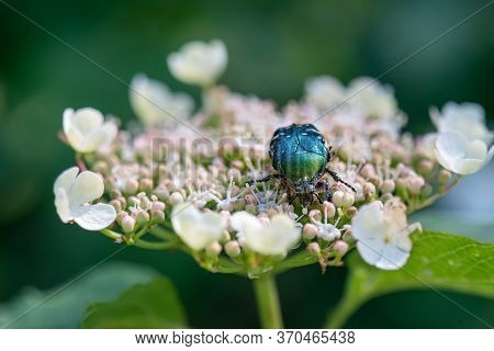 Rose Chafers (cetonia Aurata) Are One Of Our Larger And More Attractive Beetles.  The Upper Surfaces