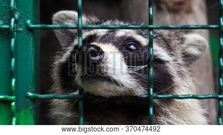 A Raccoon In A Cage In A Zoo Is Scanning The Grill. Portrait Of A Raccoon Looking At The Camera With