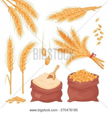 Printwheat, Barley, Oat Spikes And Grains. Bunch Of Ears, Seeds And Flour In The Sacks Isolated On W