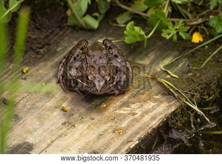 A Large Brown Toad With Black Stripes Sits On A Woodboard Near The Pond. View From The Front