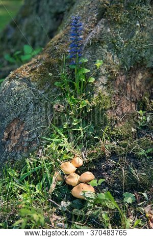 Mushrooms And Blue Ajuga Reptans Flower In The Forest