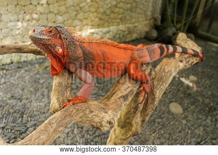 The Male Red Iguana Spending Time In The Tree Looking For Female Iguana. Iguana - Close Up Detail Of