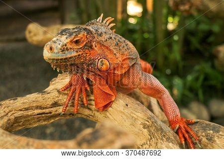 Beautiful Red Iguana On Wood, Animal Closeup. Orange Colored Iguana Sits On Driftwood And Looking At