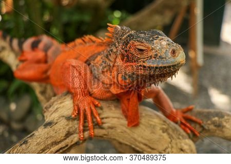 Close-up Head Of Reptile. Young Male Red Iguana Detail Of An Iguana Camouflaged In Nature. This Type