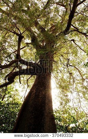 Tall Tree With Green Leaves During Daytime In The Province Of Camiguin, Philippines