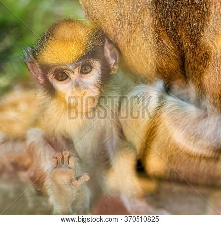Hussar. Shooting Through Glass. Children Of The Red Monkey In The Zoo Aviary. Wild Animals In Captiv