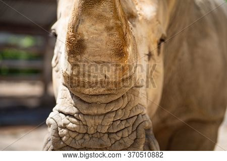 Horn Close-up. Rhinoceros In The Zoo Aviary. Observation Of Wild Animals In Captivity.