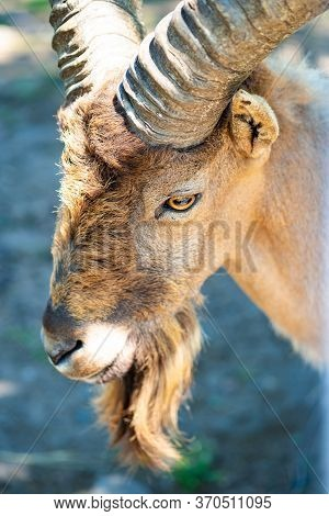 Kuban Tur In The Zoo Aviary. Close-up. Cloven-hoofed Wild Animals In Captivity.
