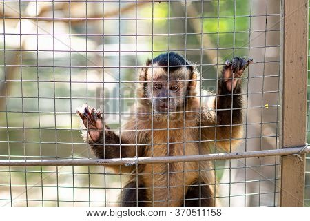 A Capuchin Monkey In A Cage At The Zoo. Wild Animals In Captivity.
