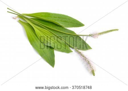 Plantago Media, Known As The Hoary Plantain. Isolated On White Background