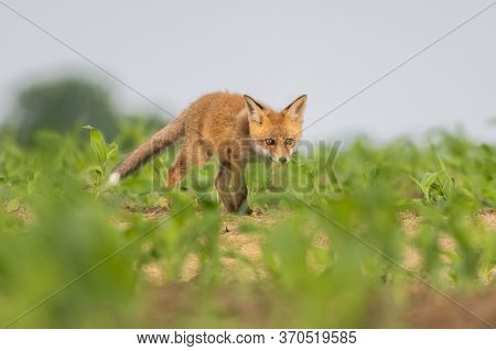 Red Fox Youngster Walking In The Field.