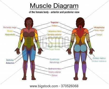 Muscle Diagram, Most Important Muscles Of An Athletic Black Man, Anterior And Posterior View, Male B