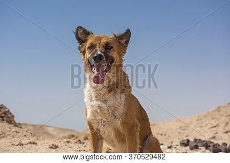 Stray Wild Desert Dog Sat Panting In Remote Hot Arid Landscape Against Blue Sky Background