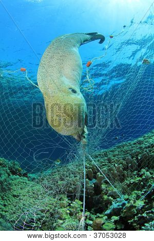 Environmental Destruction - an illegal poacher's fishing net kills a moray eel