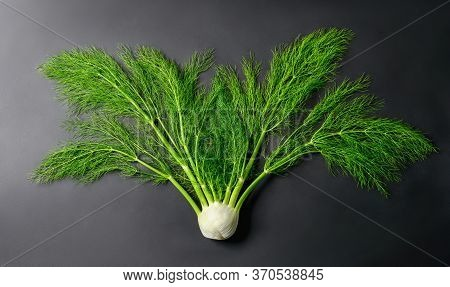 Fresh Whole Fennel Vegetable As It Grows, With Stems And Vibrant Green Leaves On Dark Background, St