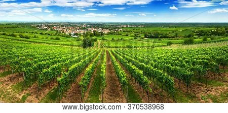 Panoramic Green Vineyard Landscape In Pfalz, Germany, With Blue Sky And Rows Of Grapevine On A Hill,