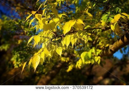 Bright Yellow Leaves On A Branch In A Park Against Dark Blurry Background, With Soft Glow Effect In