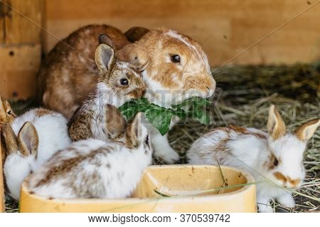 A Group Of Domestic Rabbits Sitting On Straw In A Hutch.little Rabbits Eating Grass.new Born Animals