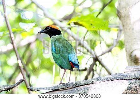 Bird, Beautiful Hooded Pitta (pitta Sordida) Stand In The Nature, Kaeng Krachan National Park, The J
