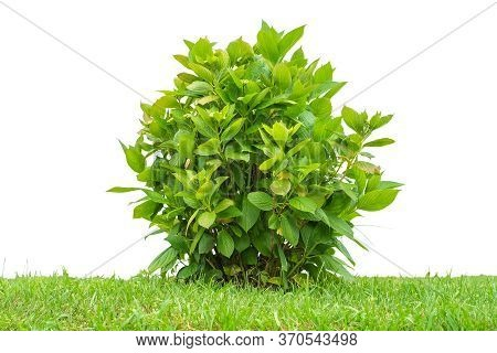 Green Garden Bush In The Field Isolated On A White Background