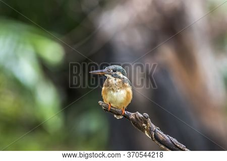 Common Kingfisher (alcedo Atthis) On Tree Stump