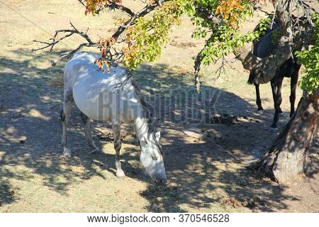Purebred Andalusian Spanish  Horse On Dry Pasture