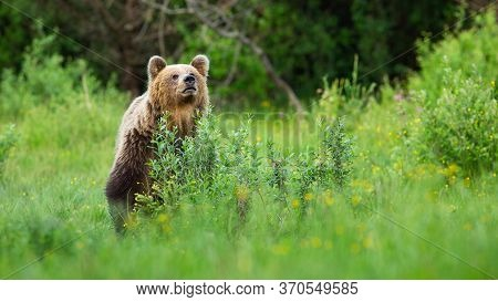 Interested Brown Bear Sniffing For Scents On Meadow And Hiding Behind Bush