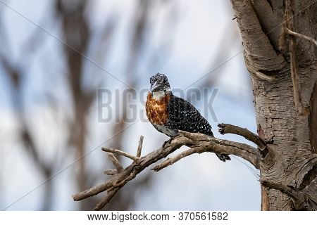African giant kingfisher, megaceryle maxima, perched in a tree at Lake Naivasha, Kenya. Front view with space for text.