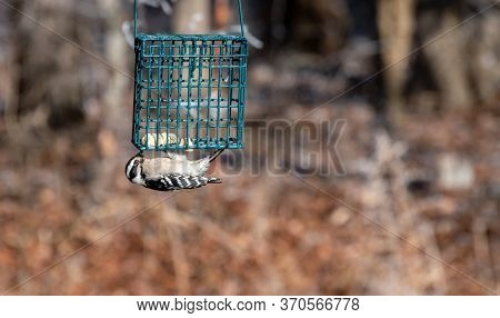 Hanging Gracefully Upside Down, This Cute Little Downy Woodpecker Gathers Up The Last Of The Suet Ca