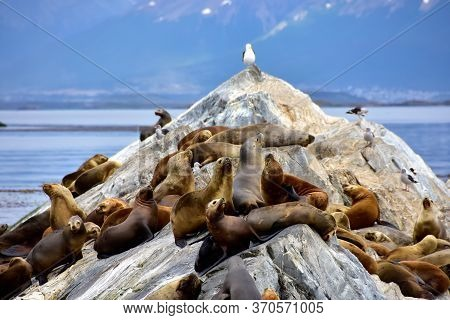 A Colony Of Sea Lions In The Beagle Channel In Argentina, And A Few Seagulls.