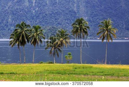 Group Of Palm Trees At Lake Maninjau, West Sumatra, Indonesia