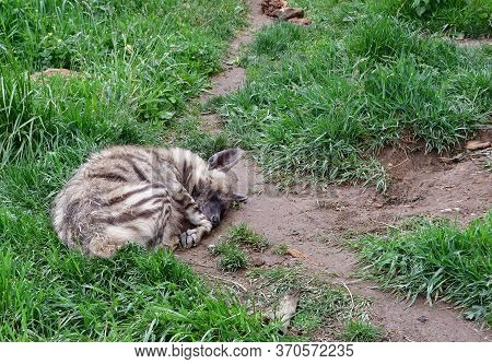 Sleeping Arabian Striped Hyena. It Is An Omnivore. It Hunts Insects And Small Vertebrates, Including