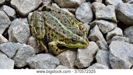Edible Frog (pelophylax Esculentus, Formerly Rana Esculenta) Is A Hybrid Of A Short-legged Marsh Fro